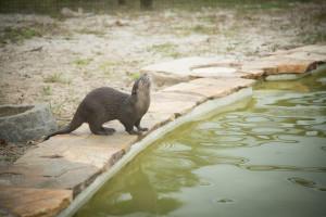 Florida Everglades Otters