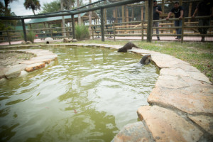 Otter exhibit in the Florida Everglades